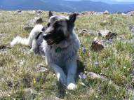 Sheba at rest atop a ridge of wildflowers