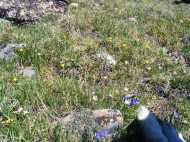 Early summer wildflowers above Mill and Lamphier Lakes