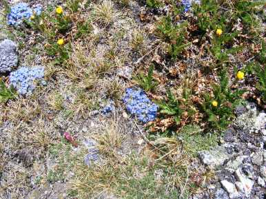 Forget-me-nots (Eritrichum; Family Boraginaceae) and avens (Family Rosaceae) on Mount Belford