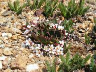 Alpine spring beauty (Claytonia), family Portulacaceae