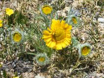 Old-Man-of-the-Mountain, or Alpine Sunflower, or Hymenoxys grandiflora - Family Asteraceae