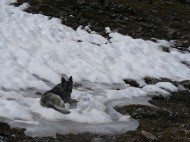 Sheba resting on patch of snow