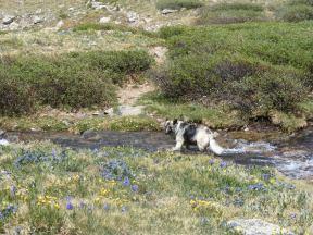 Sheba wading across an alpine stream in Missouri Gulch