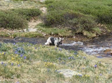 Sheba cavorts in an alpine stream in upper Missouri Gulch