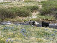 Sheba and Lady Dog cool off where the trail crosses the embryonic stream in upper Missouri Gulch