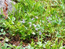 Violets in Texas Creek