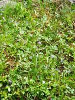 Field of violets in Texas Creek