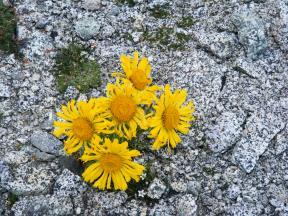 Alpine sunflower in granite near Mount Shavano