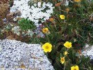 Phlox (Polemoniaceae) and avens (Rosaceae)