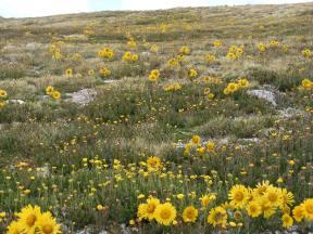 A field of Alpine Sunflower near Mount Shavano