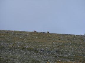 Bighorn Sheep near Mount Shavano