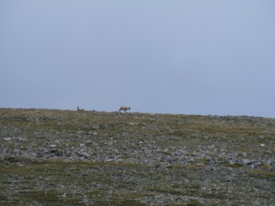 Bighorn sheep above 13,000 feet near Mount Shavano