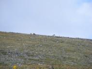 Bighorn sheep graving above 13,000 feet