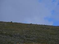 A half-dozen or so bighorn sheep near Mount Shavano
