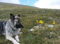 Sheba at rest in saddle to the south of Mount Shavano