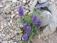If this is genus Phacelia then it is part of the Borage, or Boraginaceae, Family