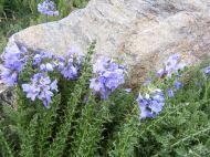 Perhaps genus Polemonium in the Polemoniaceae Family