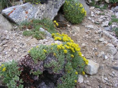 Alpine flower garden on the slopes of Mount Shavano