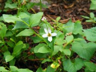 A white example of genus Viola, part of the Family Violaceae