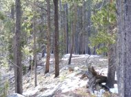 A small ridge along the Summerville Trail covered with lodgepole pine