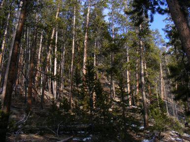 Lodgepole pine cover the hillside along the Summerville Trail within the Fossil Ridge Wilderness Area