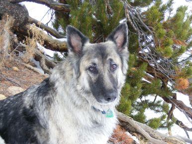 Sheba the German Shepherd
