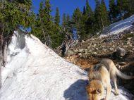 Draco on a pile of snow near treeline on the Shavano Trail