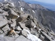 Alert Draco in his mountain fast near the summit of Mount Shavano