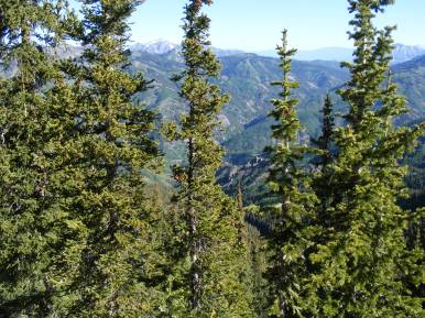 Sub-alpine forest of the West Elk Mountains