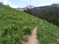 West Maroon Trail and Monument Plants (Frasera speciosa), part of the Gentian, or Gentianaceae, Family