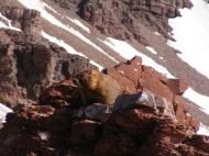 Marmot engaged in early season marmot activity