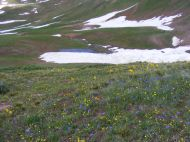 Early season flowers in the Elk Mountains below the west side of Frigid Air Pass