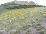 Alpine sunflowers (Hymenoxys grandiflora; Family Asteraceae) near Hunters Hill