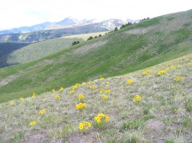 More alpine sunflowers on Hunters Hill.