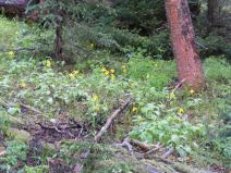 Arnica, par of the Asteraceae Family, along the Doctor Park Trail