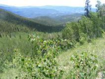 Aspen forest on Trail Gulch