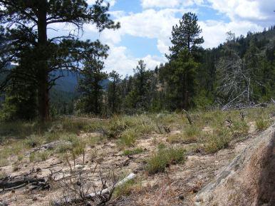Sparser ponderosa pine forest near Taylor River along the Doctor Park Trail