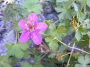 A bloom of wild purple geranium
