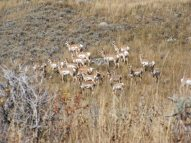 Herd of pronghorn on the Highline Trail