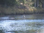 Mergansers on the Green River between the upper and lower lakes