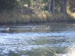 Mergansers on the Green River between the Upper and Lower Green River Lakes