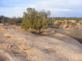 Juniper and sandstone illuminated by the setting sun, Hovenweep Campground