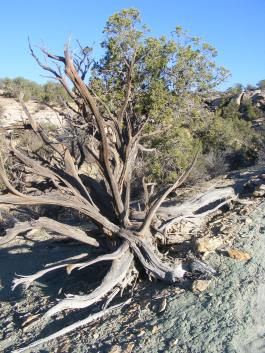 Skeletal remains of a juniper in Keeley Canyon