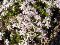 Phlox in the Sierras