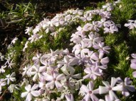 Phlox growing despite the drought in the eastern Sierras near Laufman Campground