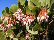 A species of manzanita flowering despite the drought, near Milford, California