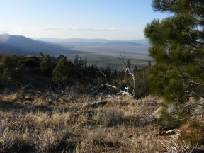 Ponderosa grow in the eastern Sierra Mountains near Milford, California above Laufman Campground