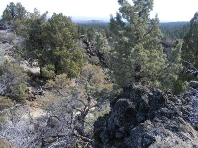 Juniper growing along the Big Nasty Trail in Lava Beds National Monument