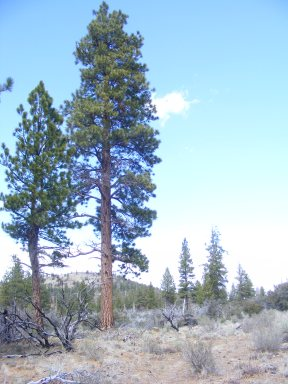 Stately ponderosa on the Big Nasty Trail, Lava Beds National Monument