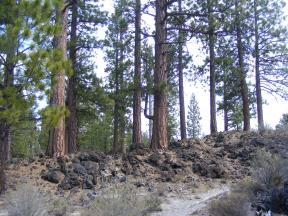 Ponderosa growing in lava, Big Nasty Trail